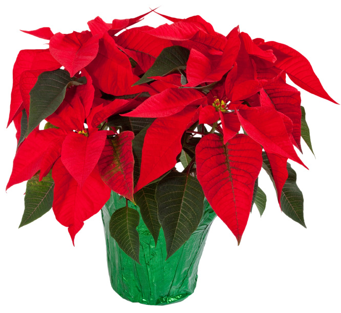 Advent/ Christmas Poinsettias for Sale